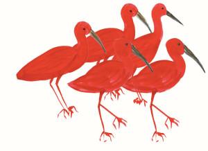 ibis_rouges_B11